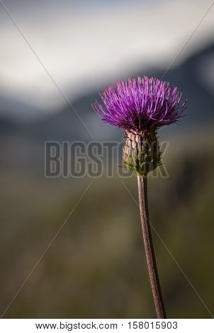 Melancholy Thistle with long leave less stem with background mountain scenery