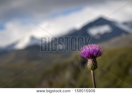 Melancholy Thistle with snow covered mountain landscape in the background