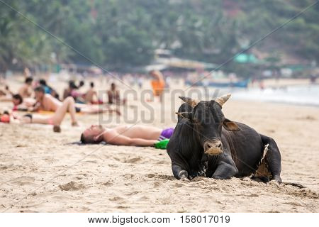 Gokarna, India - January 16, 2016: Big black bull and tourists having sunbath at the beach in Gokarna, India