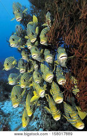 School of sweetlips fish, Plectorhinchus polytaenia, hiding behind soft corals of Raja Ampat, Indonesia.