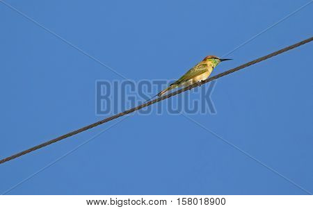 Little Green Bee-eater bird in yellow perching on steel cable against blue sky in Thailand