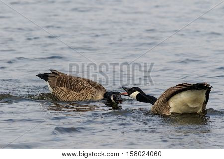Canada Goose (Branta canadensis) on the lake