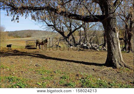 Several beef cows graze the barren autumn pasture