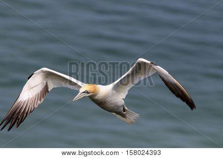 A northern Gannet (Morus bassanus) glides gracefully