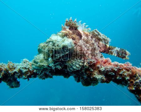 Scorpion fish from Gulf of Thailand, Pattaya