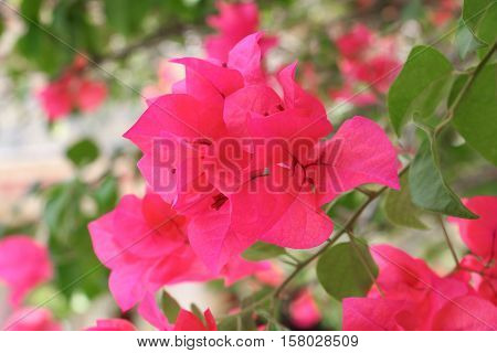 Bougainvillea flower purple glabra Choisy beautiful natural in garden