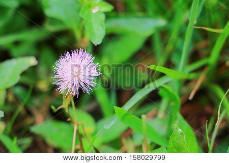 Sensitive plant Close up or mimosa pudica plant Beautiful .