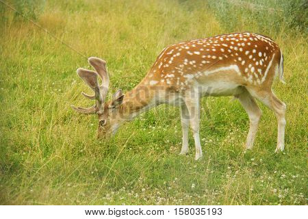 The fawn at the meadow eating grass