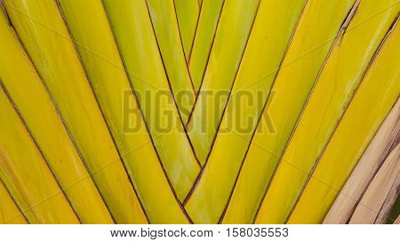 Petiole pattern of Traveller's Palm Leaves, Thailand poster