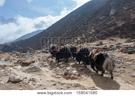 Group Of Black Nepali Yaks Carrying Their Heavy Load In Himalayan Mountain Landscape. Yaks Caravan L