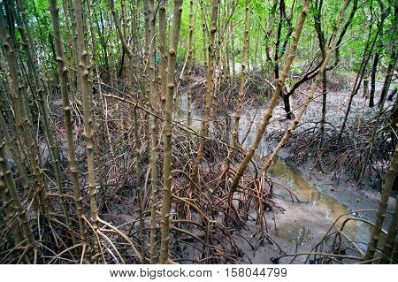 Mangrove forest near the sea in Thailand.