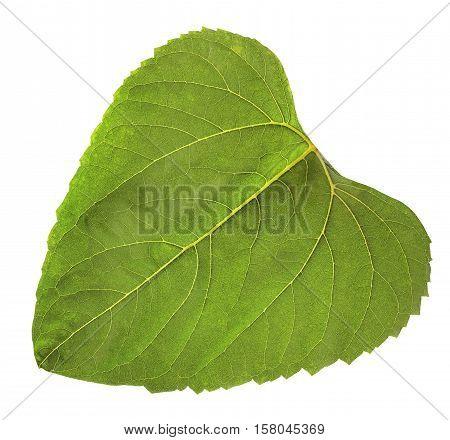One leaf of sunflower isolated on white background. Herbarium.