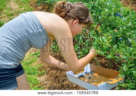 Young woman picking blueberries from bush into a box during the summer at farm