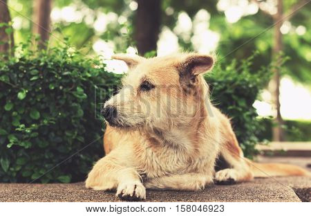 Stray Dog With Sad Eyes Looking Away And Lying In Park. Vintage Effect Tone.