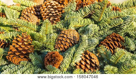 Large Fir cones on the branches of spruce