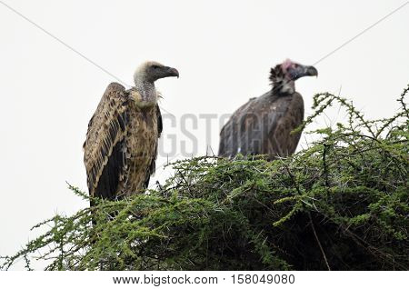 White-backed vultures (Gyps africanus) sitting in the nest