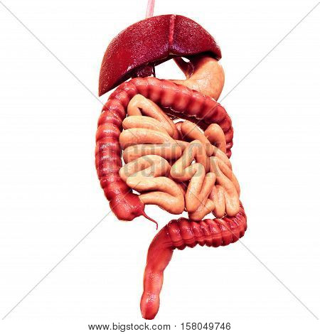 The human digestive system consists of the gastrointestinal tract plus the accessory organs of digestion (the tongue, salivary glands, pancreas, liver, and gallbladder). In this system, the process of digestion has many stages, the first of which starts i