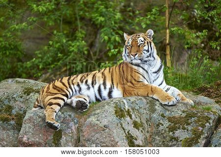 Siberian tiger laying on a rock. Noble attitude.