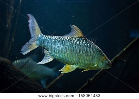 Java barb (Barbonymus gonionotus), also known as the silver barb.