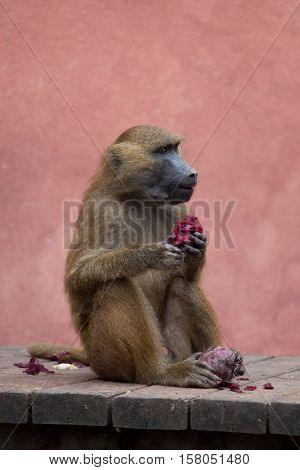 Guinea baboon (Papio papio). Wildlife animal.