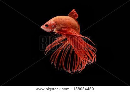Moment of red betta fish siamese fighting fish isolated on black background