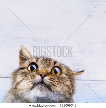 frightened and surprised Gray cat looking up with wide-open eyes on white background