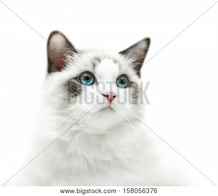 White kitten with blue eyes portrait on the white