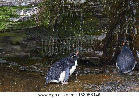 Rockhopper Penguin (Eudyptes chrysocome) having a shower under a waterfall on the cliffs of Saunders Island on the Falkland Islands.