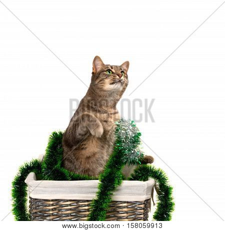 Gray Cat With Green Eyes Sitting On Its Hind Legs In Wicker Basket With Christmas Tinsel And Looking