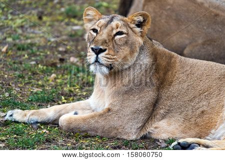A lioness lying on the ground (female lion)