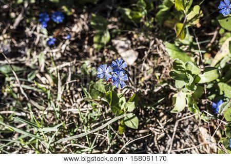 very small blue flowers outdoor macro closeup