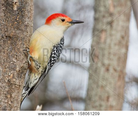 Male red-bellied woodpecker eating bird seed on a tree.