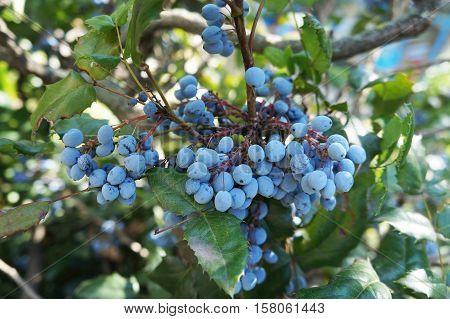 Mahonia aquifolium blue fruits and green leaves.