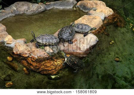 Red-eared turtles in the pond in zoo