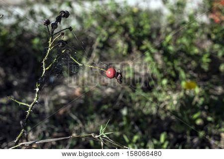 rose flower plant bud outdoor macro closeup