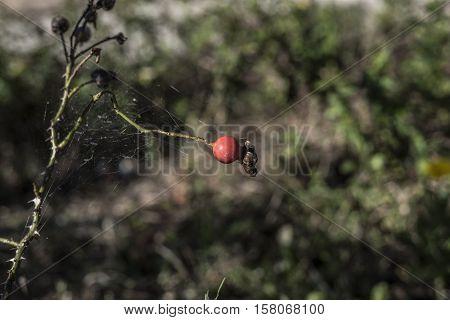 red rose flower plant bud outdoor macro closeup