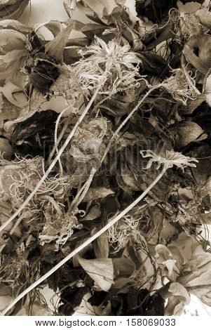 closeup of the dried flower sepia background
