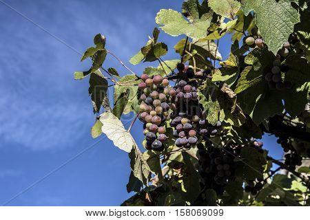 black grapes on the vine uotdoor closeup