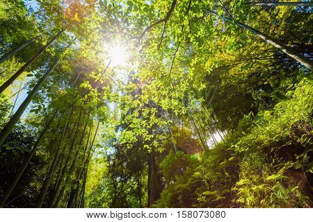 Spring Sun Shining Through Canopy Of Tall Trees Bamboo Woods. Sunlight In Tropical Forest, Summer Nature. Upper Branches Of Different Deciduous Trees Summer Background. Nobody. Environment Concept.