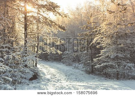 fabulous winter forest, cold day, Leningrad oblast, Russia