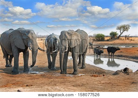 Elephants standing near a waterhole with buffalos in the background in Hwange National Park, Zimbabwe, Southern Africa
