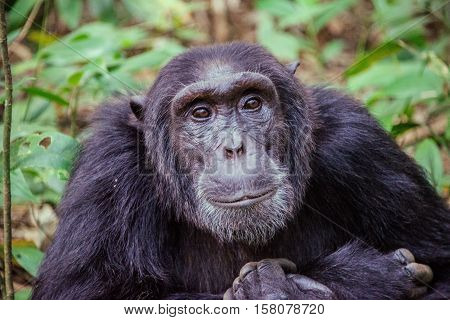 Chimpanzee family Gombe Stream National Park in Tanzania