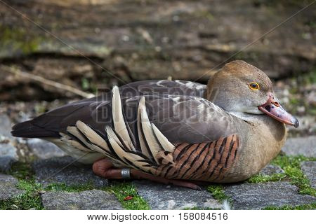 Plumed whistling duck (Dendrocygna eytoni), also known as the grass whistle duck.