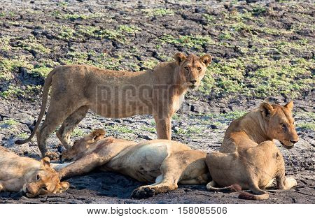 lion pride in Lake Katavi National Park, Tanzania, Africa