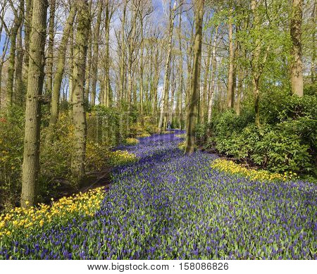 beautiful purple muscari in the famous keukenhof tulip gardens in the netherlands