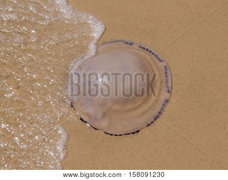 The large jellyfish who is thrown out by the sea on sand