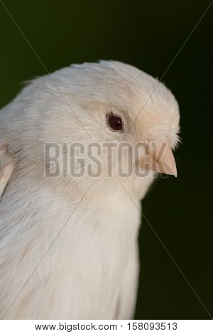 Beautiful white canary with a nice plumage