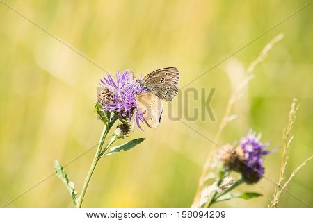 The Ringlet (Aphantopus hyperantus), a butterfly in the family Nymphalidae feeding on a cornflower. Beautiful and colorful background. Summer time