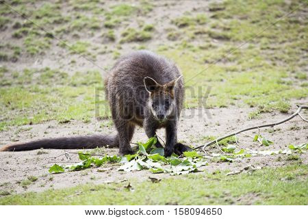 The swamp wallaby (Wallabia bicolor): a small macropod marsupial of eastern Australia