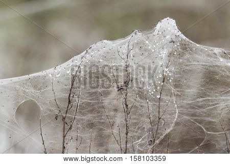 Spiders and sheets of spider webs on vegetation after floods. Rising water levels force spiders to retreat from grass to higher plants covering them in silk on UK farmland